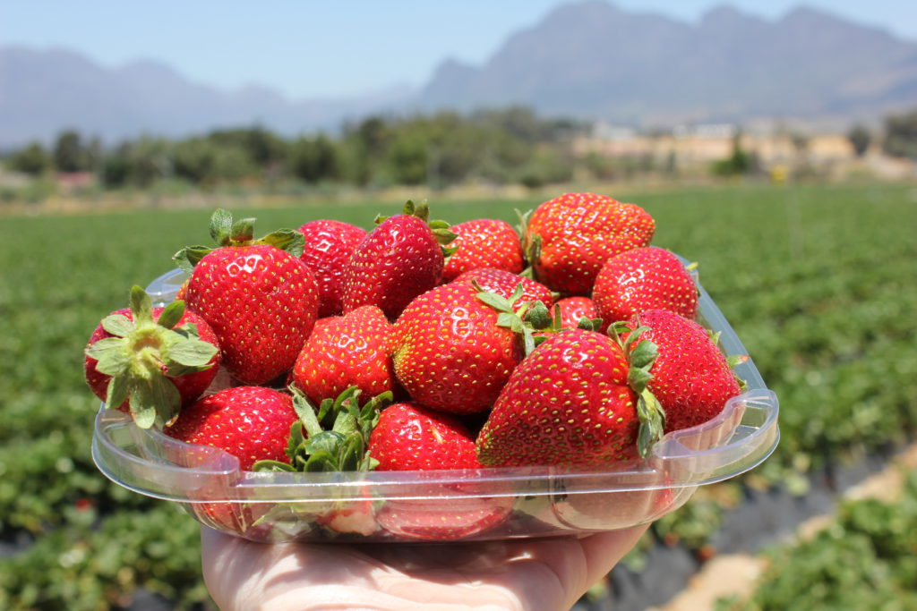 Strawberry Picking in Cape Town
