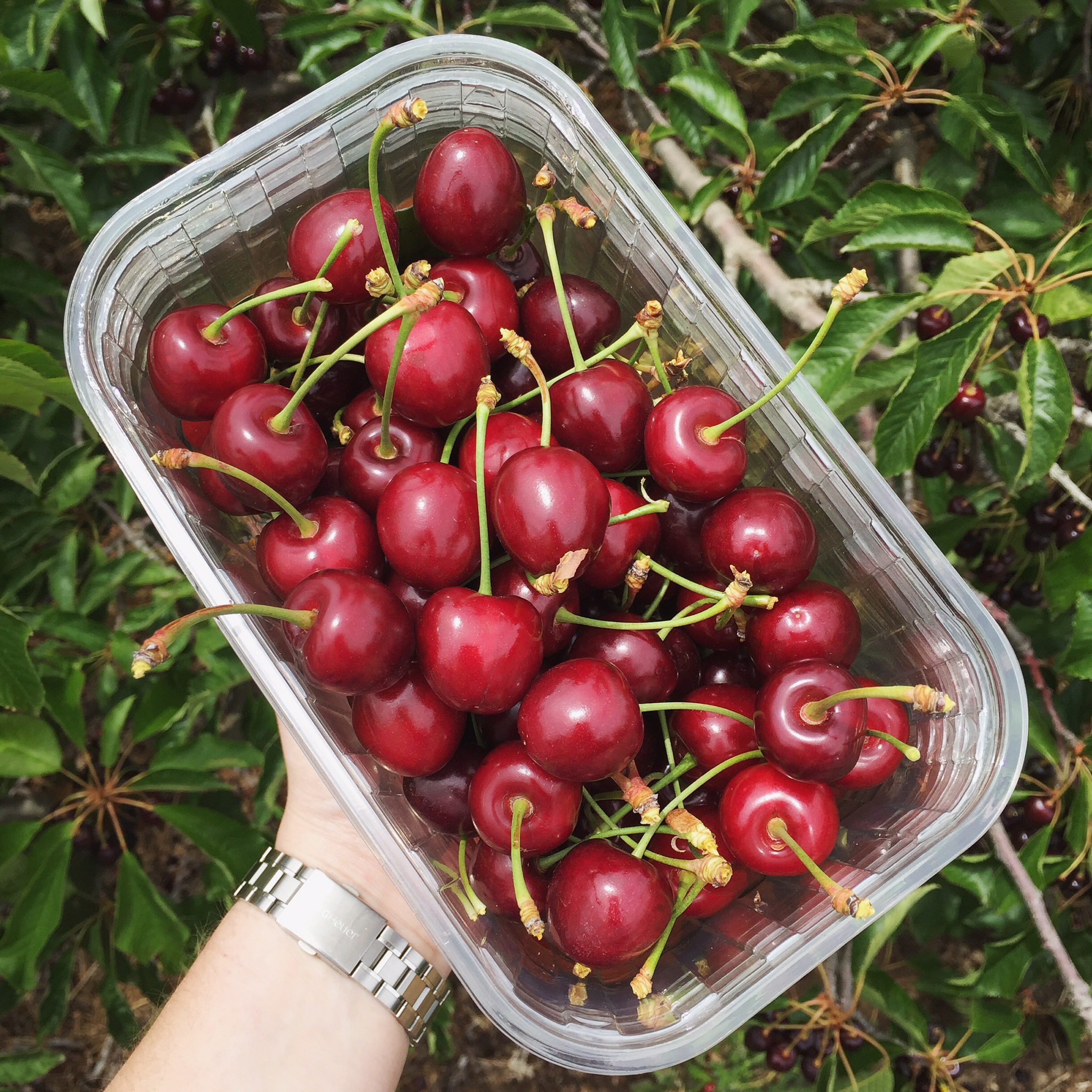Cherry Picking in Ceres, Cape Town